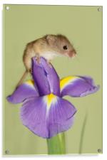 Harvest mouse on Iris., Acrylic Print