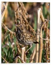 Meadow Pipit, Acrylic Print