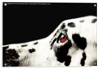 The Amber Eye. Kokkie. Dalmation Dog, Acrylic Print