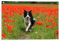 Border Collie in Poppy Field, Acrylic Print