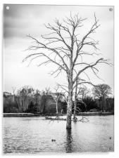 Dead tree in the centre of a lake , Acrylic Print