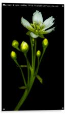 Flower of the Venus Fly Trap, Acrylic Print