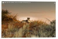 Lioness in the Last Rays of the Sun, Acrylic Print