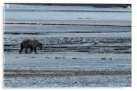 Brown Bear Looking For Clams, Acrylic Print
