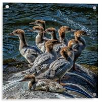 A Bouquet of Mergansers, Acrylic Print