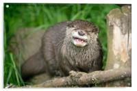 Smiling Otter, Acrylic Print