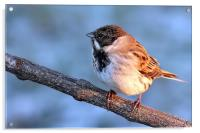 Reed Bunting on branch, Acrylic Print