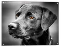 For The Love Of Labradors, Acrylic Print