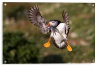 Puffin with Sand Eels, Acrylic Print