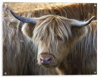 Face to Face With a Horny Cow, Acrylic Print