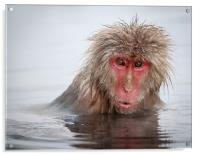Curley (Japanese Macaque), Acrylic Print