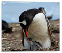 Gentoo Penguin Mother And Baby, Acrylic Print