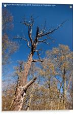 Old dead trunk decayed tree, Acrylic Print