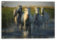 White horses running through water - camargue, Acrylic Print