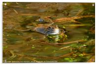 """""""Reflections of a Happy Frog"""", Acrylic Print"""