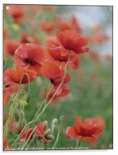 """""""Poppies in the mist"""", Acrylic Print"""