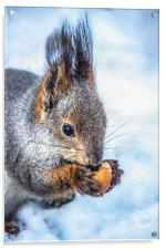 The squirrel with an acorn, Acrylic Print