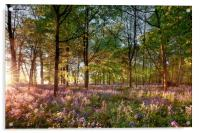 Early sunrise in English bluebell forest, Acrylic Print