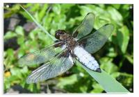 Broad-bodied Libellula, Acrylic Print