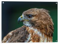 Red-tailed Hawk, Acrylic Print
