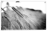 Black and White Barley Ears, Acrylic Print