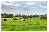 Dairy cows grazing in open grass field of farm , Acrylic Print