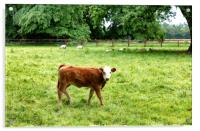 Young cow eating grass while looking forward , Acrylic Print