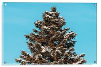 Pine Tree Covered In Winter Snow, Acrylic Print