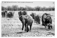 African elephants with young approaching waterhole, Acrylic Print