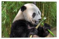 Cute Panda Bear Eating Bamboo in Forest, Acrylic Print