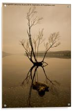 Lone Tree on Coniston #2, Acrylic Print