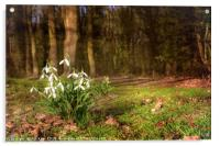 Snowdrops in  Woodland, Acrylic Print