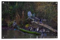 Heron and cormorants on a lake in Chard Somerset, Acrylic Print