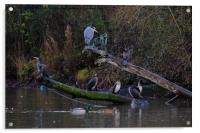 Heron and cormorants on a fallen tree in Chard , Acrylic Print