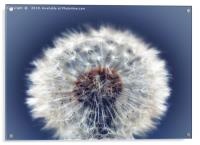 Close up of a Dandelion head No. 2, Acrylic Print