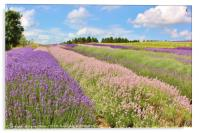 Lavender field in the Cotswolds, Acrylic Print