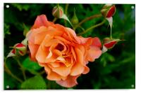 Stunning peach/orange rose and rose buds, Acrylic Print