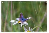 Common Blue Butterfly, Acrylic Print