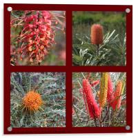 Collection of Australian Proteaceae flowers, Acrylic Print