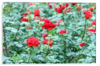 red roses garden nature background, Acrylic Print