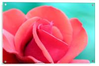 red rose flower close up, Acrylic Print