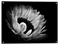 Sunflower Droplets In BW, Acrylic Print