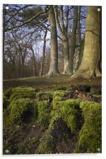 A clump of mossy roots in a wood, Acrylic Print