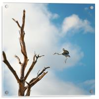Heron about to land, Acrylic Print