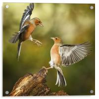 Squabbling chaffinches, Acrylic Print
