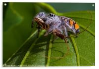 jumping spider with prey, Acrylic Print