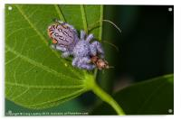 white hairy spider eating a bug, Acrylic Print