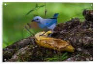 blue-gray tanager, Acrylic Print
