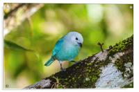 blue gray tanager on a branch, Acrylic Print