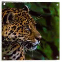 Panther profile, Acrylic Print